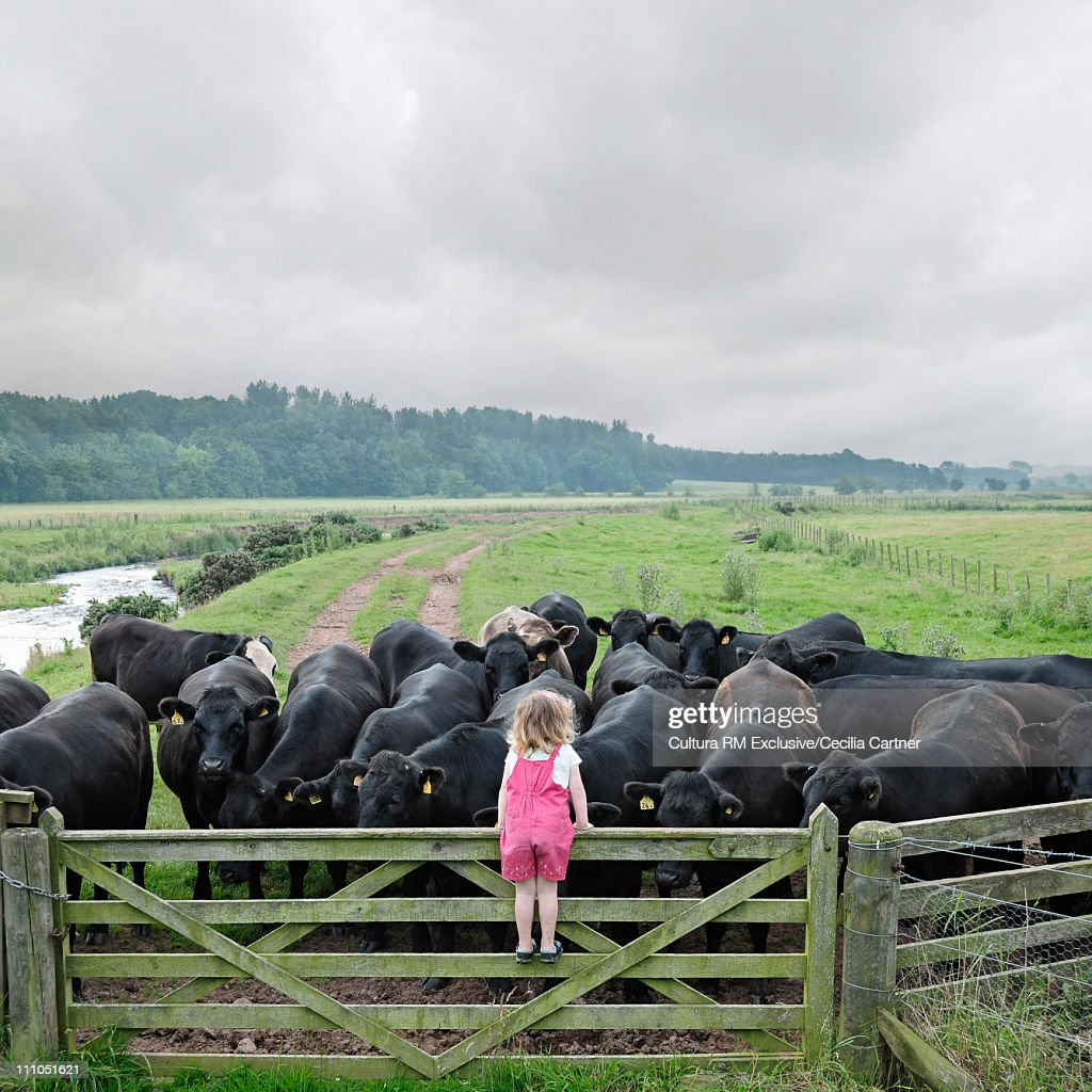 Girl climbing fence to look at cows : Stock Photo