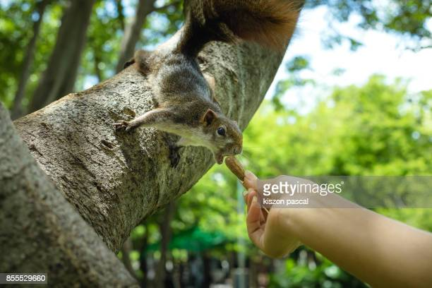 Girl closeup hand feeds peanuts to a cute squirrel on a tree in day