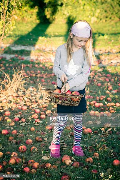 Girl collecting windfalls on a meadow