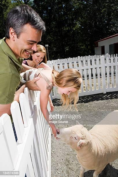 Girl feeding sheep at the zoo