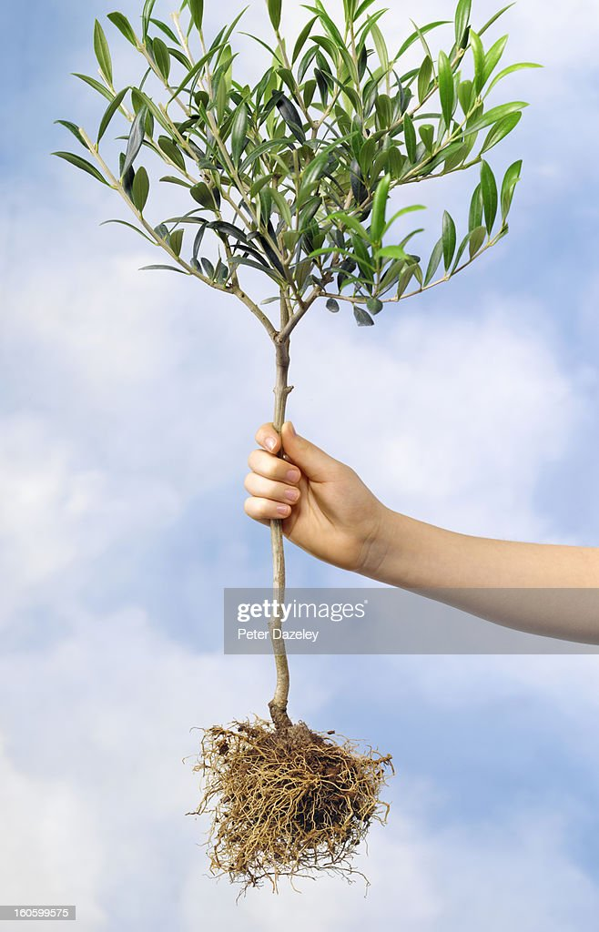 Girl golding olive tree against sky : Stock Photo