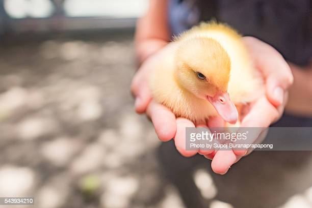 A girl hold a little duck in her hand