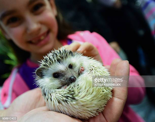 A girl holds a baby hedgehog in Lurdy House in Budapest on February 7 during a twoday international cat exhibition and fair in the Hungarian capital...