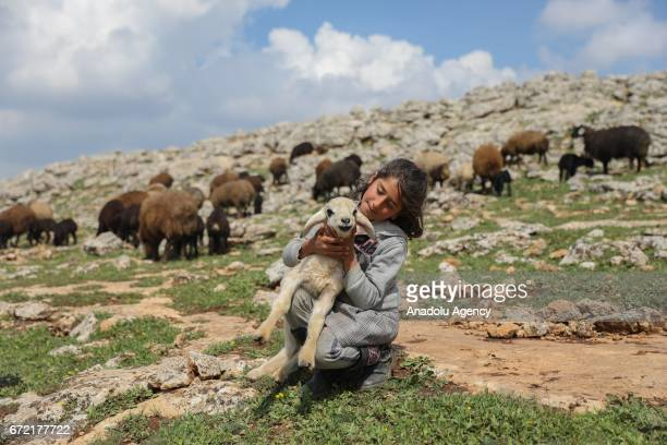 A girl holds a lamb on her lap on grassland in the Karacadag region of Siverek district in Sanliurfa Turkey on April 22 2017 Nomadic families who...
