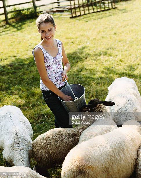 Girl in a Field Holding a Bucket Feeding Sheep