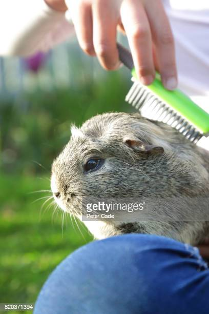 Girl in garden brushing guinea pig