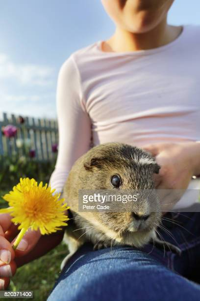 Girl in garden giving dandelion to guinea pig