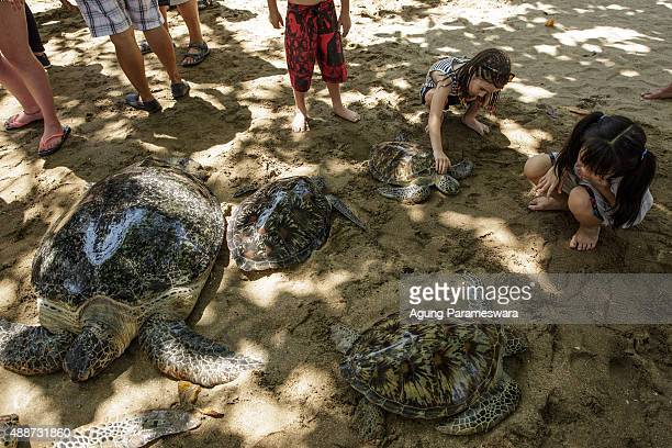 A girl pets a sea turtle before Indonesian Marine Police release them at Kuta Beach on September 17 2015 in Kuta Bali Indonesia Indonesian Marine...