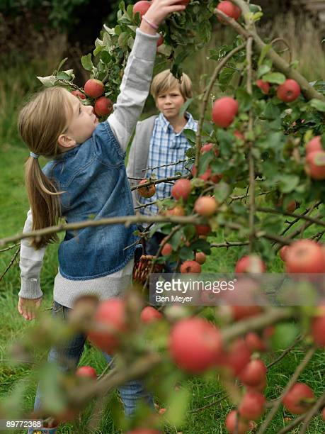 Girl picking apples while boy watches