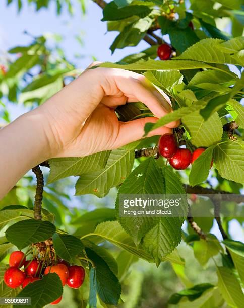 girl picking cherries from tree