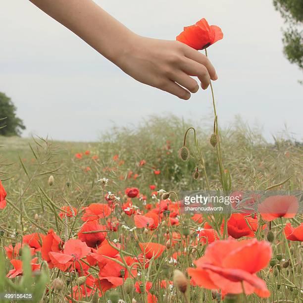Girl picking poppy flowers