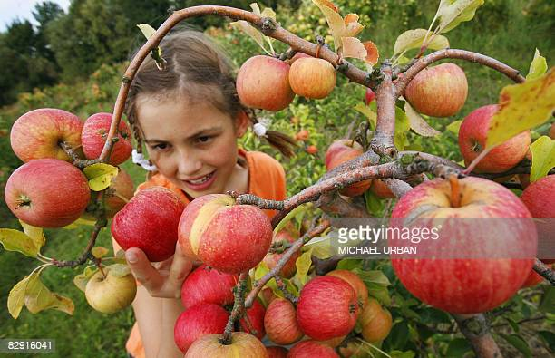 A girl picks apples at an orchard near the eastern German town of Rathenow on August 21 2008The harvest of 1200 hectares of apple trees bearing 30...