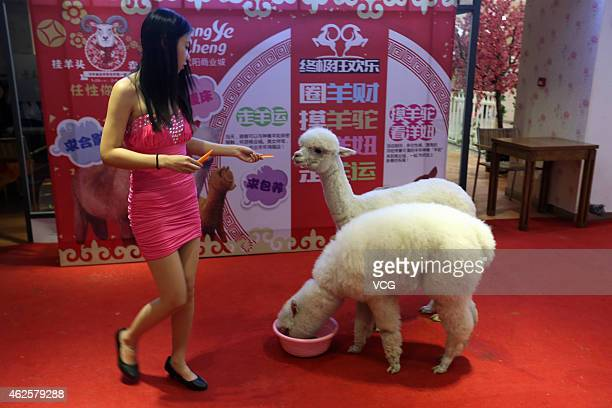 A girl plays with two alpacas during a promotional event at a mall on January 31 2015 in Shenyang Liaoning province of China