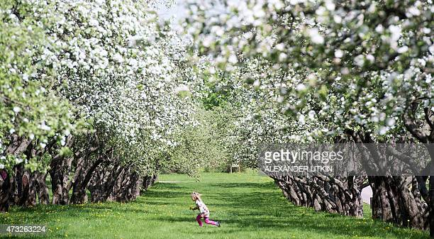 A girl runs under blossoming apple trees in Moscow's Kolomenskoye park on May 14 2015 AFP PHOTO / ALEXANDER UTKIN