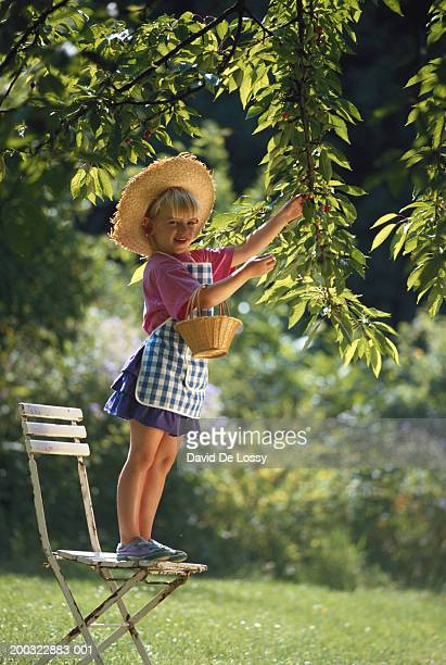 Girl (4-5) standing on chair, picking cherries from tree