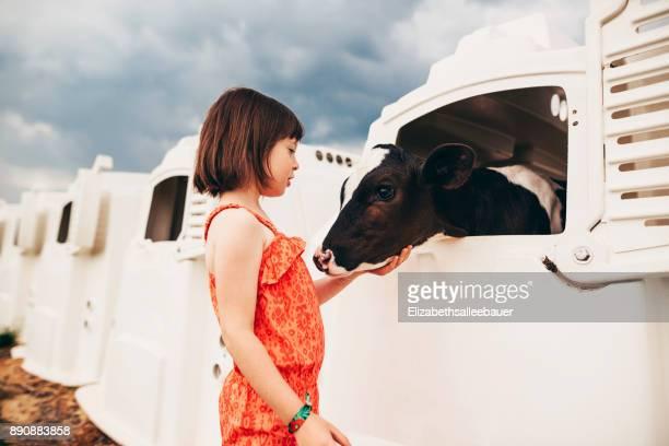 Girl stroking a baby cow in a calf hutch