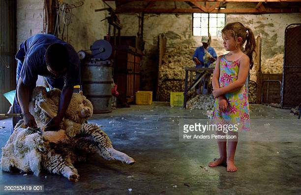 Girl watch a man shearing a sheep in Sutherland, South Africa