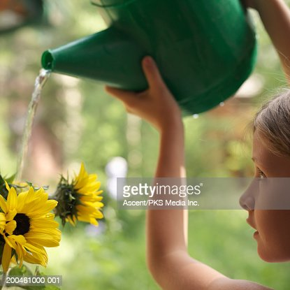 Girl (9-11) watering sunflowers (Helianthus), close-up, profile : Stock Photo