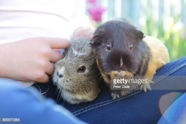 Girl with guinea pigs on lap in garden