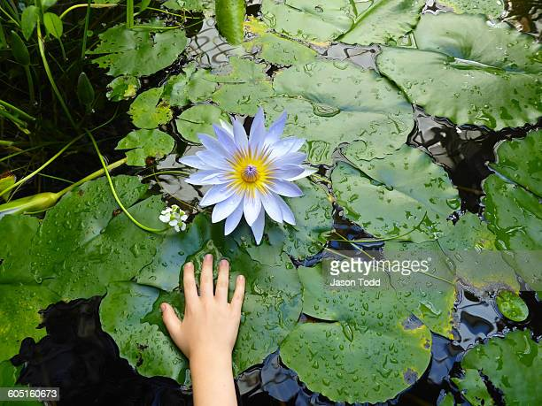 Girls hand on lily pad with white lotus lily