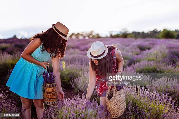 Girls picking lavender