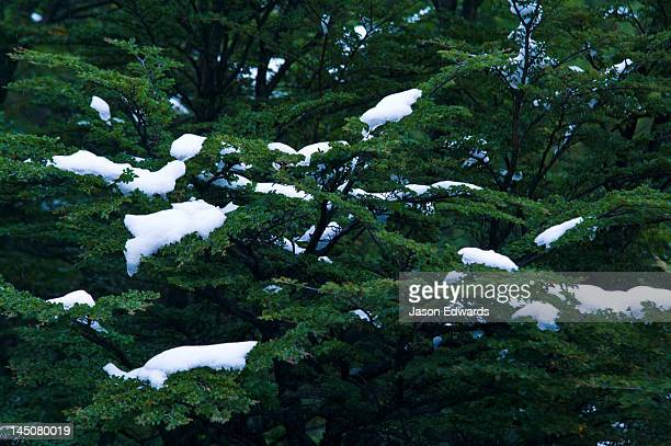 Clumps of snow collect on the sturdy boughs of a Southern Beech tree.