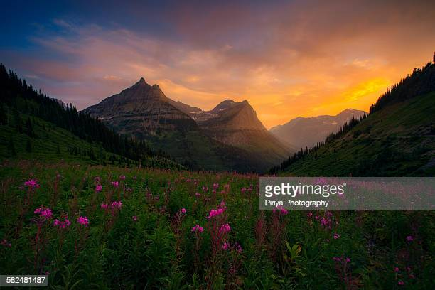 Glacier wildflowers