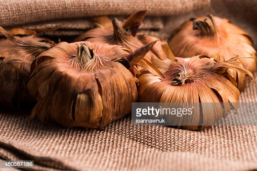 Gladiola bulbs ready to plant in the spring garden : Stock Photo
