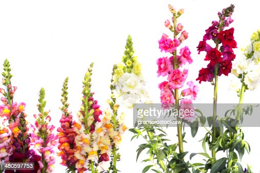 Gladiolus and other flowers : Stock Photo