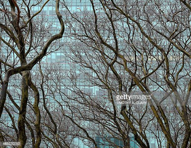 A NYC glass building is the backdrop for London plane trees in Bryant park In New York march 4 2015 This is the same species found at the Jardin des...