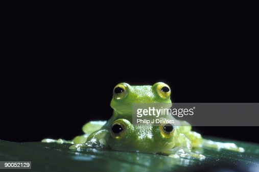 glass frogs centrolenella sp. mating  b.c.i. panama : Stock Photo