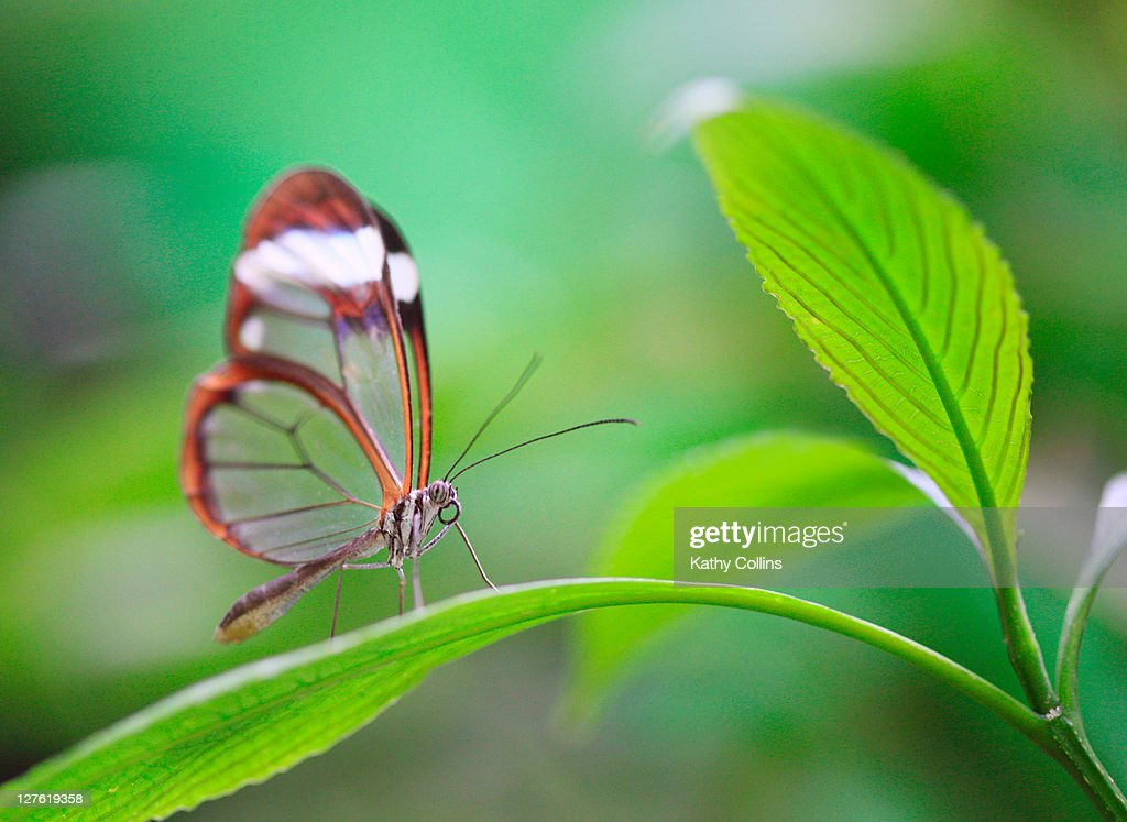 Glasswing butterfly on green leaf : Stock Photo