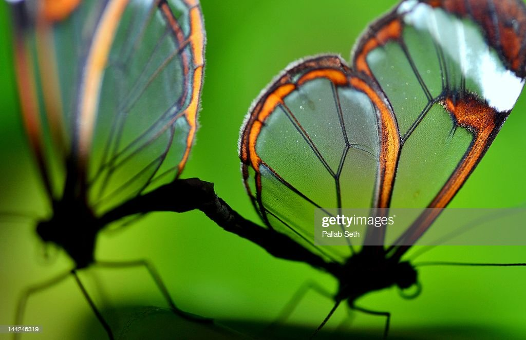 Glasswinged butterfly : Stock Photo