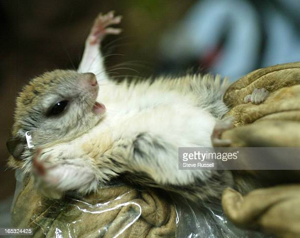 Glaucomys sabrinus Northern Flying Squirrel is checked out These appealing little creatures are found throughout most of the forested areas of Canada...