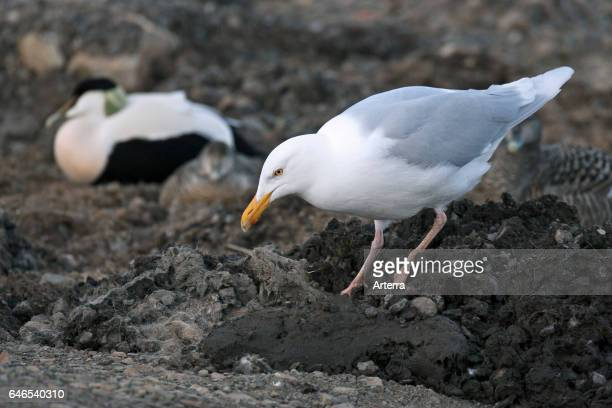 Glaucous gull looking for unprotected nests in eider duck breeding colony Spitsbergen Norway Svalbard