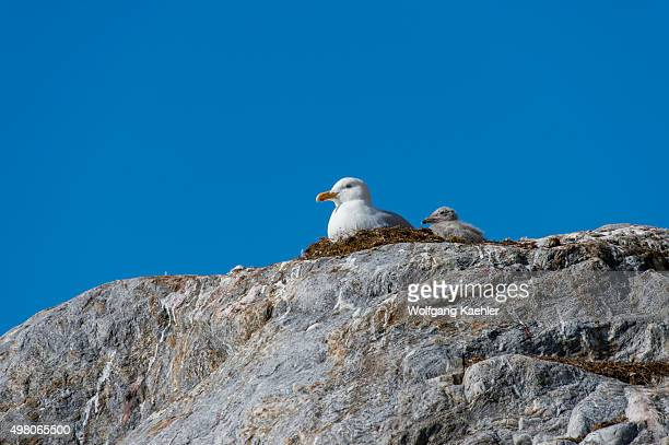 Glaucous gulls with chick sitting on a rock at the Fjortende Julibreen located at northwestern Spitsbergen in the Krossfjord Svalbard Norway