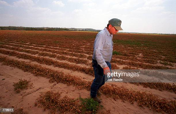 Glen Armstrong walks in a field of dead peanut plants September 7 2000 in Dublin Texas where a drought has made his crop unharvestable Armstrong said...