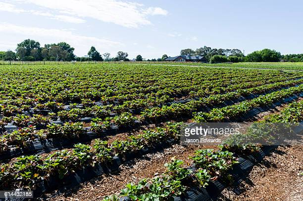 Rows of irrigated strawberries on a commercial farm.