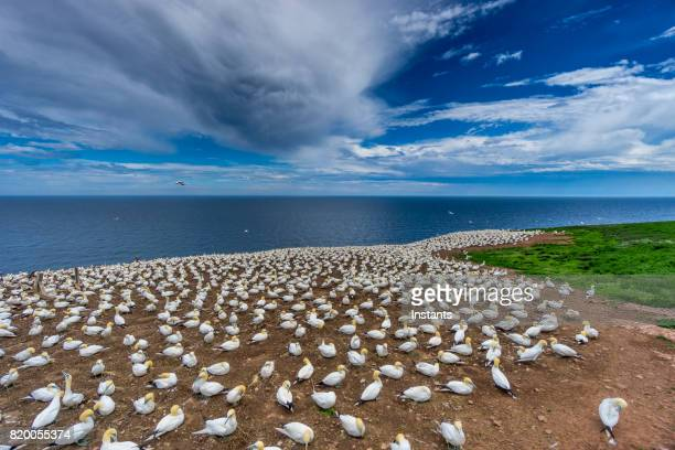 A glimpse at Bonaventure Island's and its world's largest colony of Northern gannets, where over 200 thousand birds call this place home 6 months out of the year.
