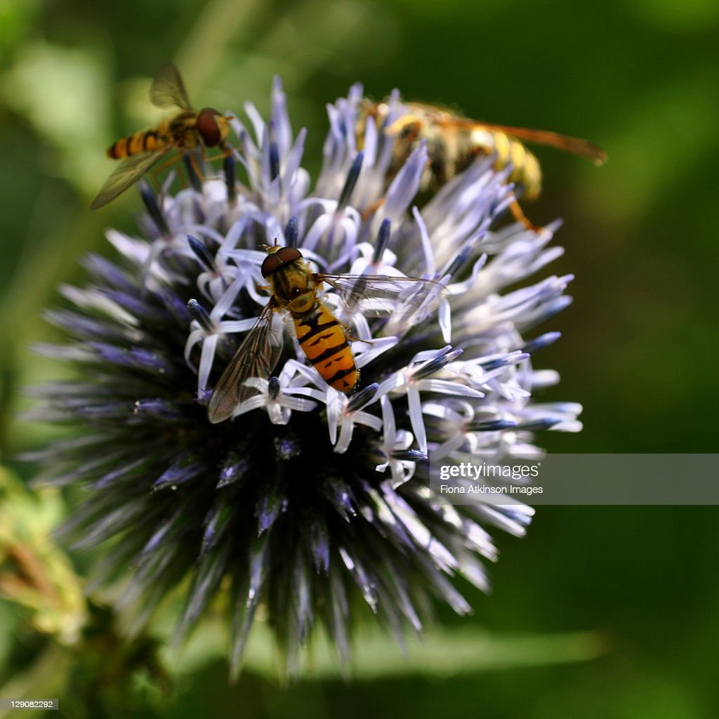 Globe thistle and hoverflies