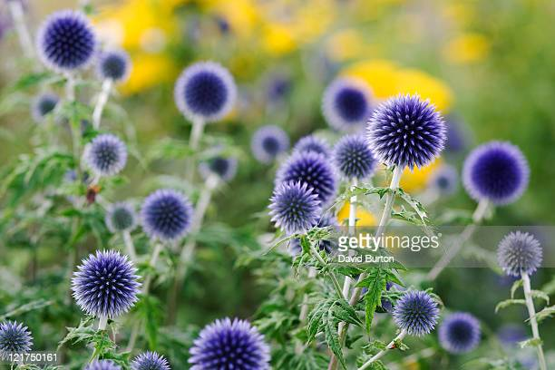 Globe Thistle (Echinops bannaticus)  blue flowers in garden