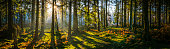Early morning sunlight filtering through the pine needles of a green forest to illuminate the soft mossy undergrowth in this idyllic woodland glade.