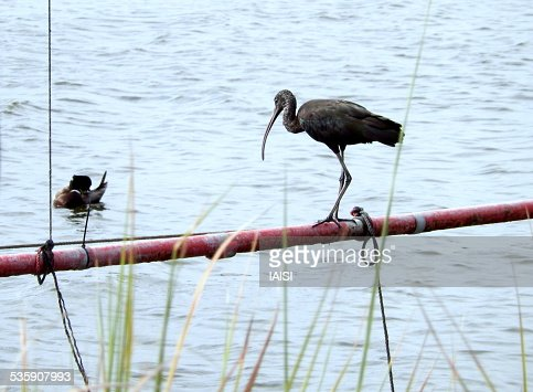 Glossy ibis looking at mallard duck grooming : Foto de stock