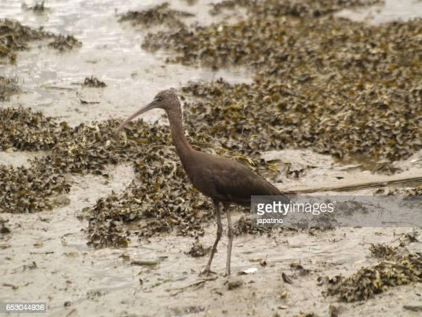 Glossy ibis. (Plegadis falcinellus)