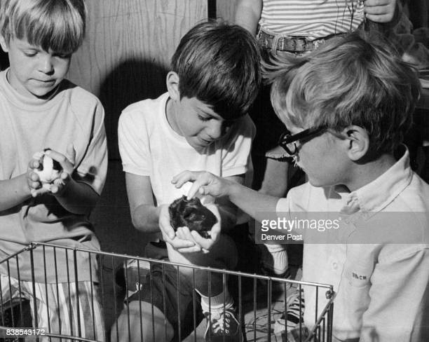 A glossy pair of guinea pigs less than a week old are cuddled by from left Joe Prangley of 1590 S Dexter Way Peter Tom of 55 Jasmine Street and Bruce...