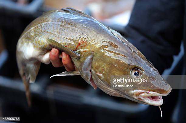 Gloucester fisherman will be impacted by the new cod fishing ban A cod caught on fisherman Al Cottone's boat