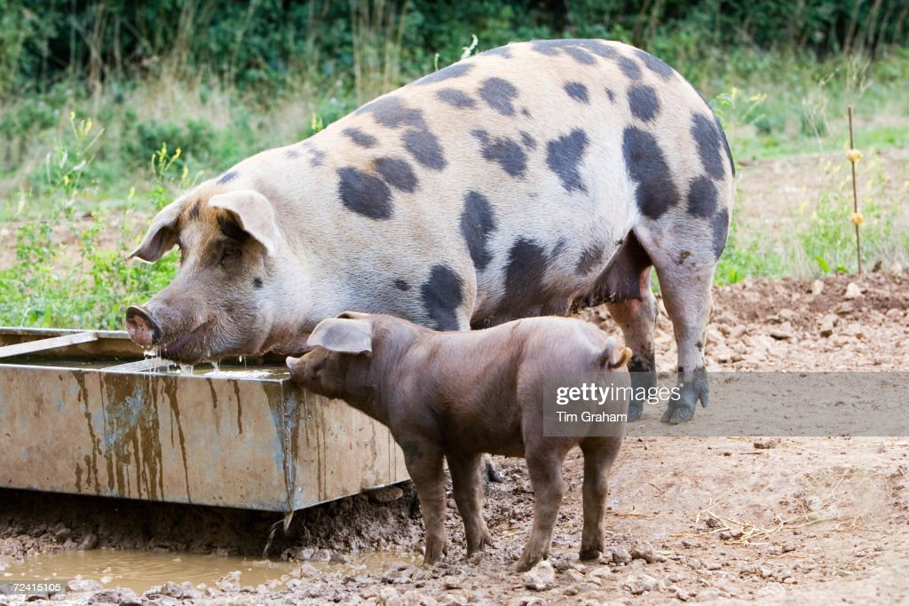 Gloucester Old Spot pig and her piglet feeding Gloucestershire United Kingdom