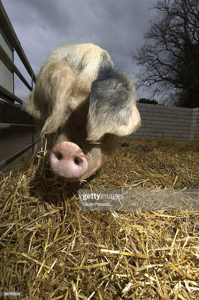 Gloucester Old Spot Pig (Sus scrofa domestica), Church farm, Suffolk, UK
