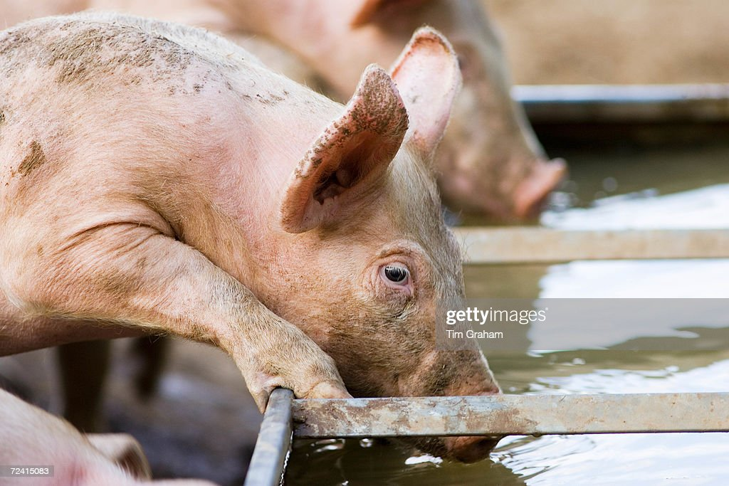 Gloucester Old Spot pig drinks from a trough Gloucestershire United Kingdom