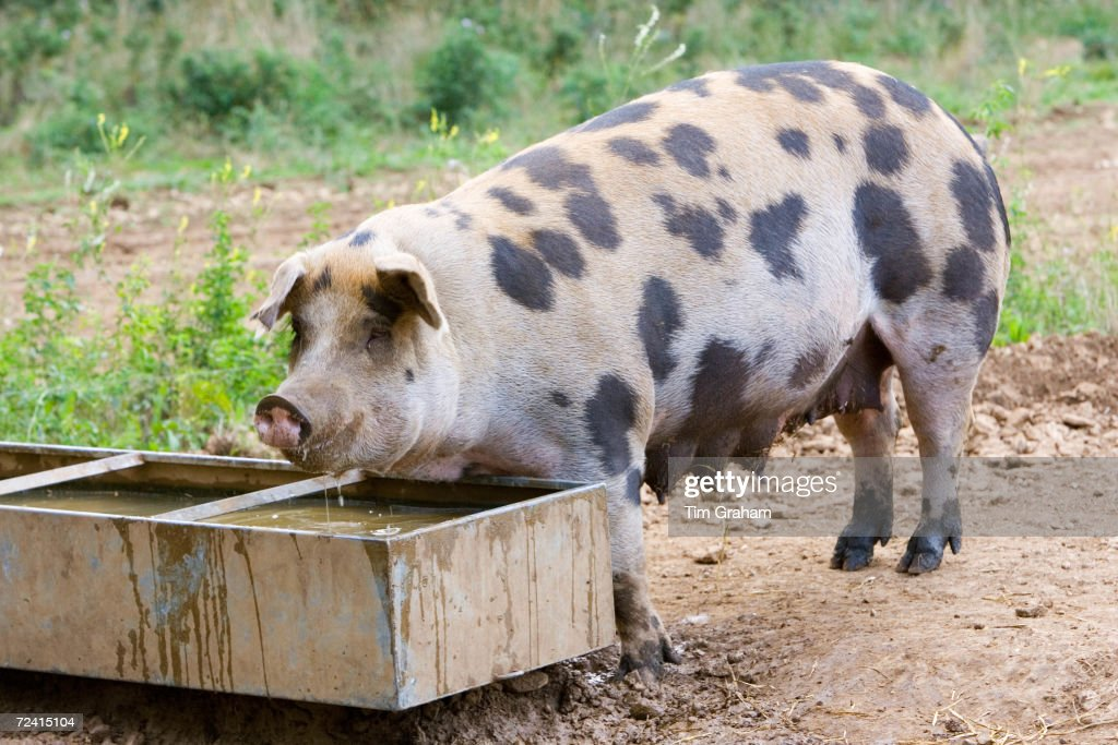Gloucester Old Spot pig feeds from a trough Gloucestershire United Kingdom
